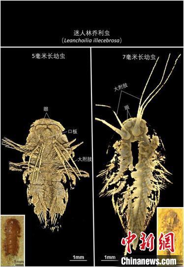 中美科研人员联手揭秘5亿年前节肢动物头部口板特征