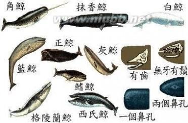 鲸的种类 鲸的种类