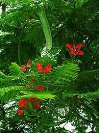 凤凰木作品 凤凰木,凤凰木的功效与作用_中药凤凰木_凤凰木是什么_凤凰木的用法用量