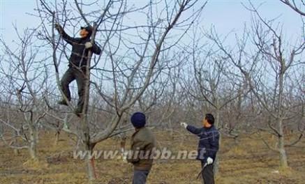 樱桃树修剪 核桃树何时修剪最好图片