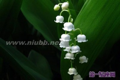 风铃草 各种花语:风铃花的花语是什么?
