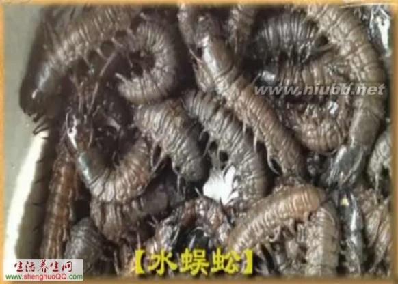 水蜈蚣 水蜈蚣-图片