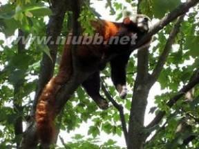 小熊猫[食肉动物]:小熊猫[食肉动物]-基本资料,小熊猫[食肉动物]-介绍_小熊猫