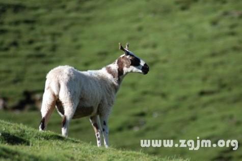 梦见杀羊 梦见杀羊