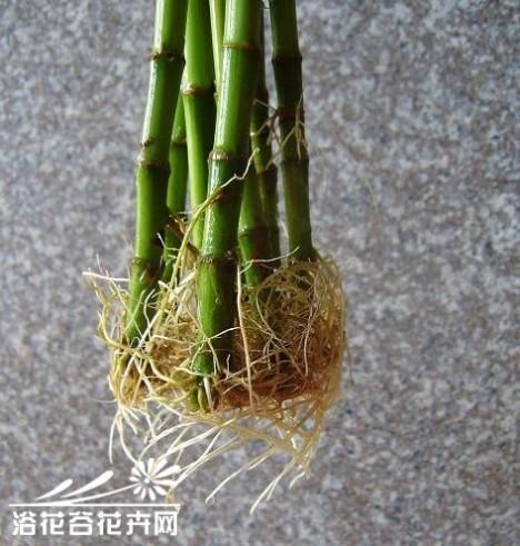 富贵竹生根的问题
