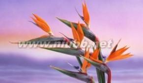 天堂鸟花:天堂鸟花-基本信息,天堂鸟花-形态特征_天堂鸟花