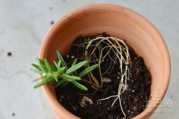香料植物 常见香料植物种植方法介绍