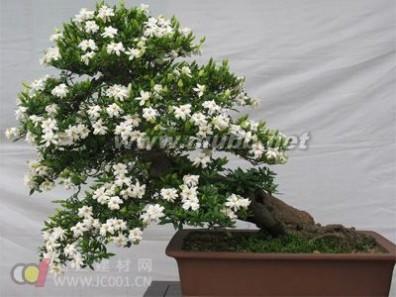 盆栽栀子花的养护方法_栀子花的养殖方法