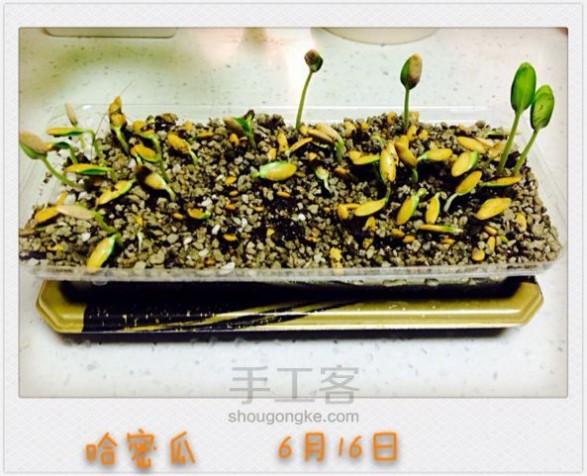 哈密瓜种子 哈密瓜种子也能变盆栽 养殖方法