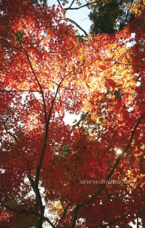 远方的红叶 你若来,请在枫叶红之时