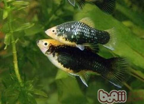 月光鱼 月光鱼,月光鱼价格、月光鱼多少钱一只、月光鱼好养吗