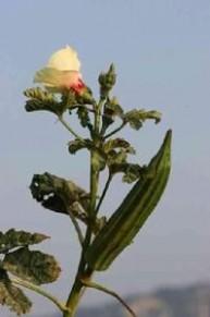 秋葵的功效与作用 秋葵的功效与作用,秋葵药用价值