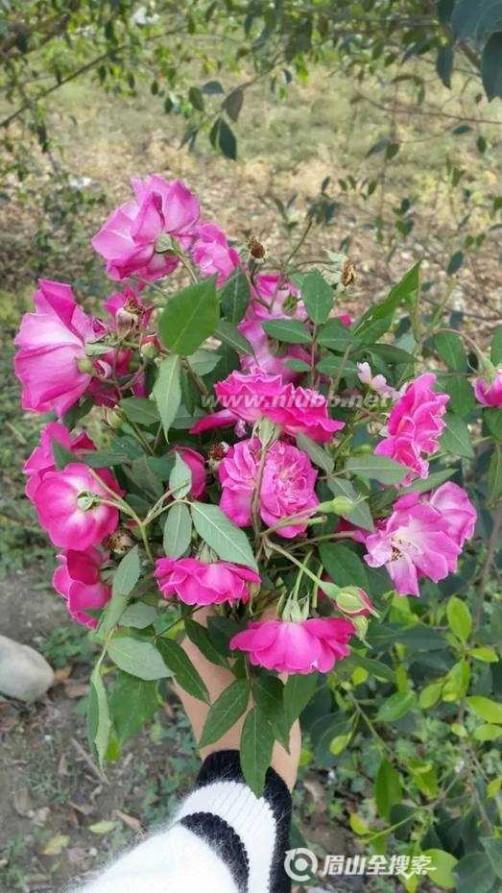 玫瑰绽放的季节 野玫瑰盛开的季节 邀你开启寻找儿时的记忆之旅