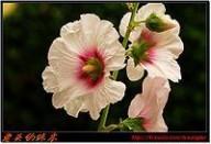 蜀葵 蜀葵,蜀葵的功效与作用_中药蜀葵_蜀葵是什么_蜀葵的用法用量