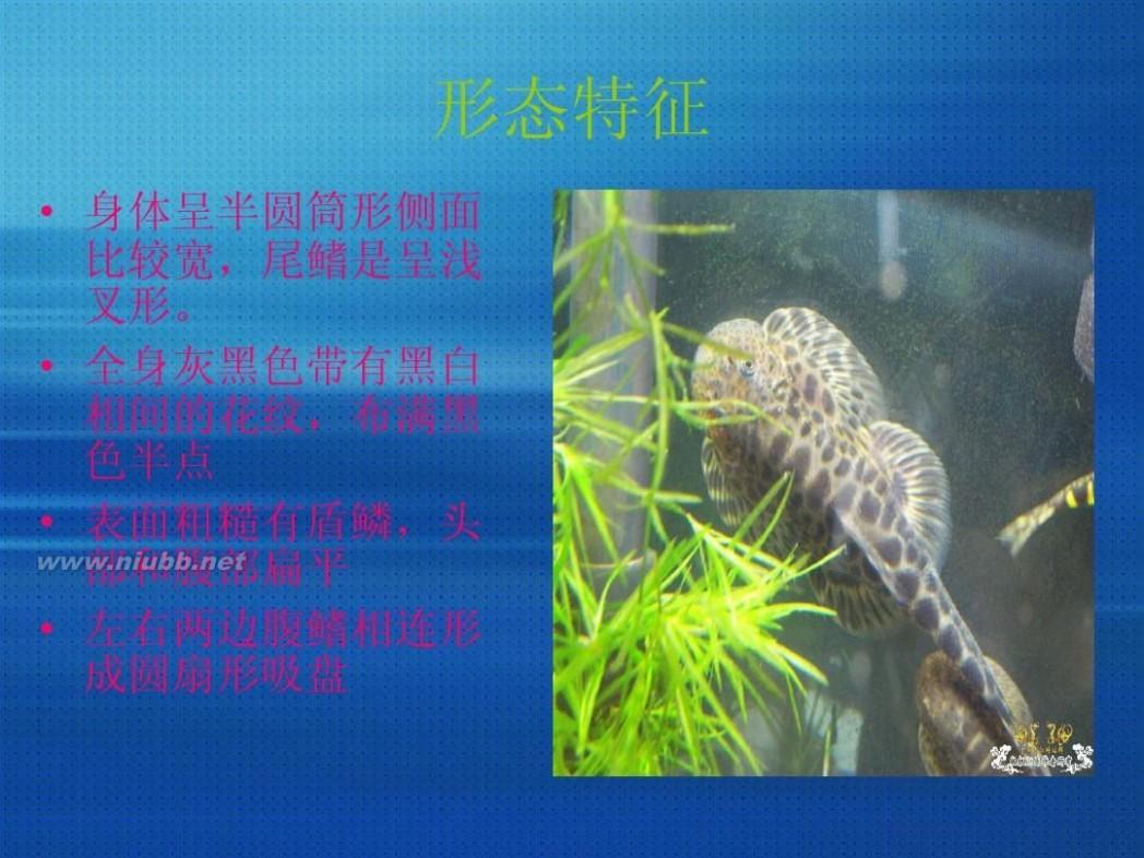 观赏鱼清道夫 观赏鱼--清道夫
