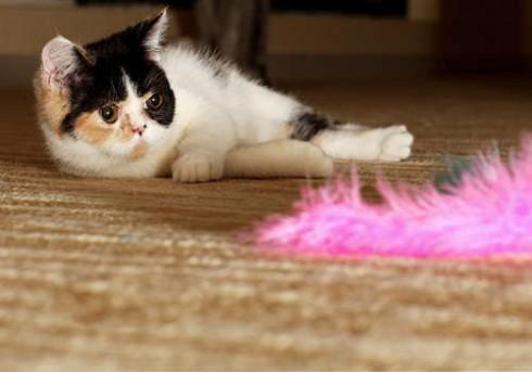 猫白血病 介绍猫咪传染病之猫白血病