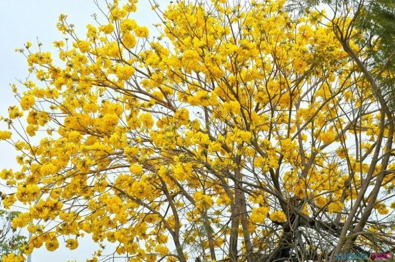 黄花风铃木 黄花风铃木的花语是什么