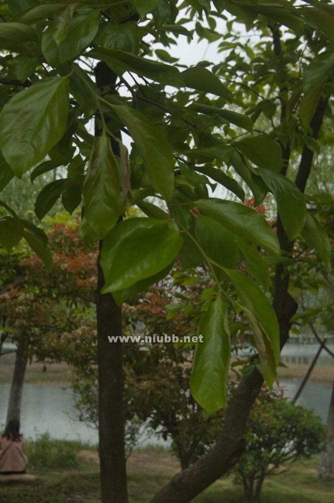 常见树木图片及名称-常见大乔木苗木图片