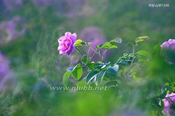 玫瑰之约 5月玫瑰之约
